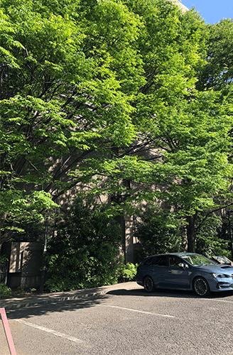 楠木の若葉