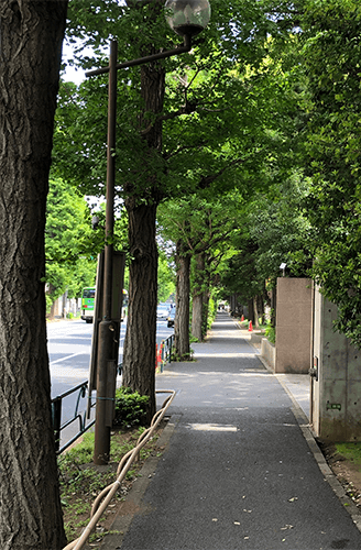 楠木の並木道